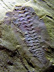 Misszhouia longicaudata