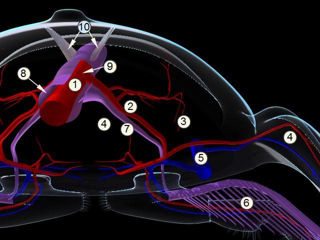 triarthrus-circulation.jpg