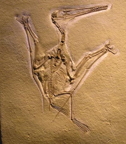 pterodactylus kochi.jpg