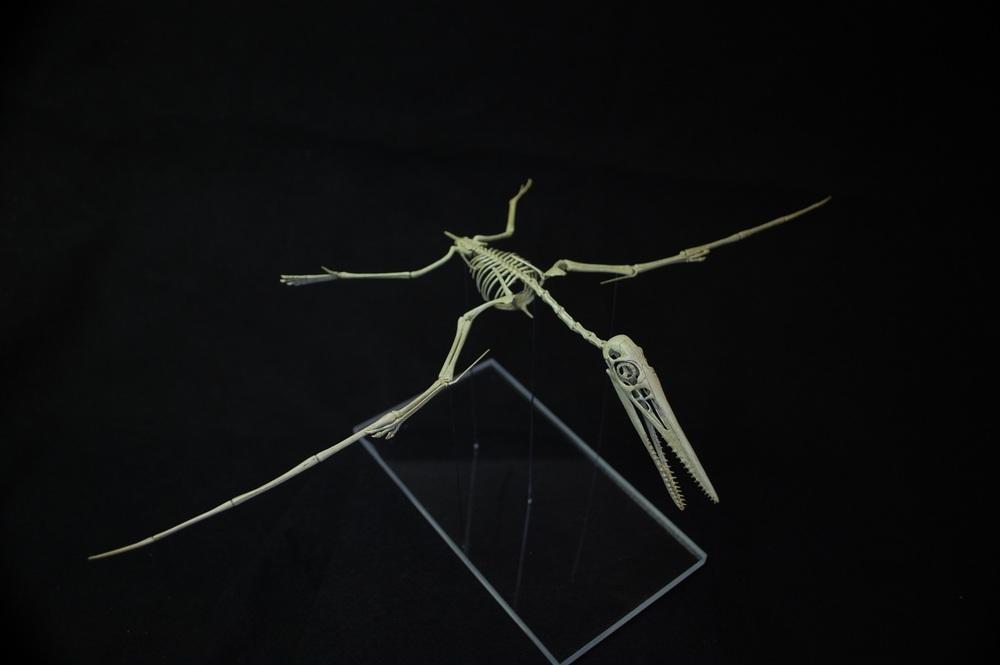 pterodactylus kochi 01.jpg
