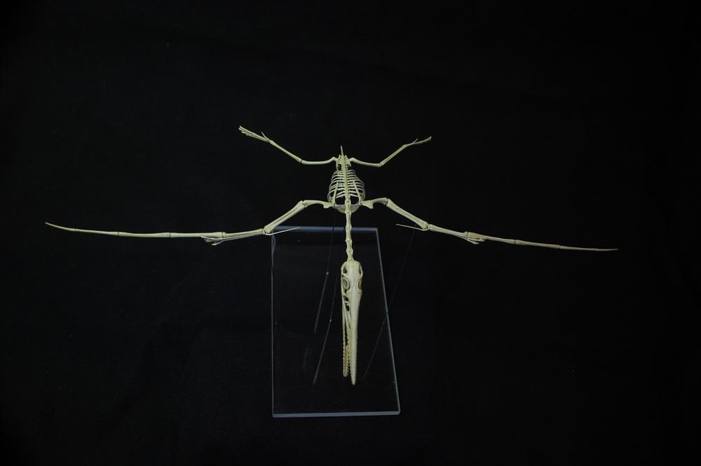 pterodactylus kochi 02.jpg