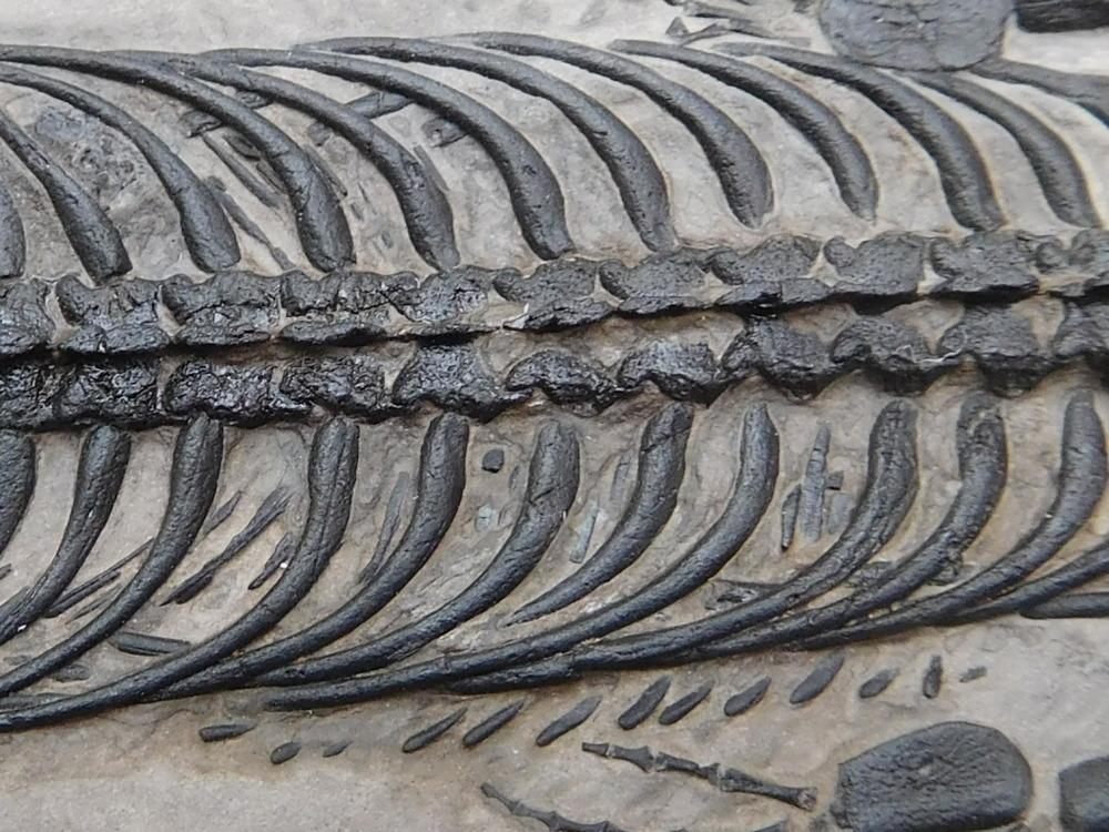 keichousaurus5.JPG