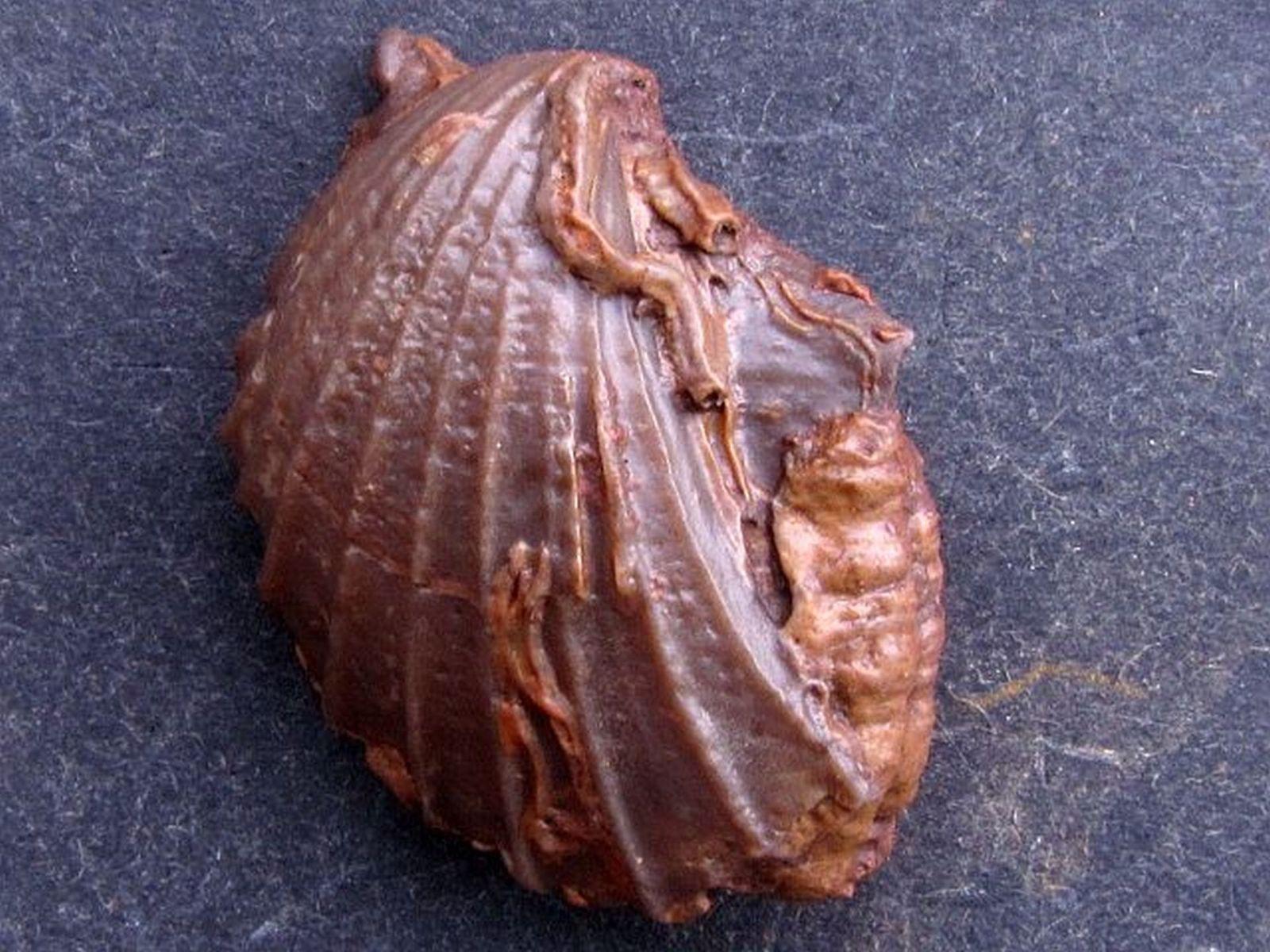 Oxytoma inaequivalvis(Sowerby 1819) with Serpula sulcata (Adams 1797)