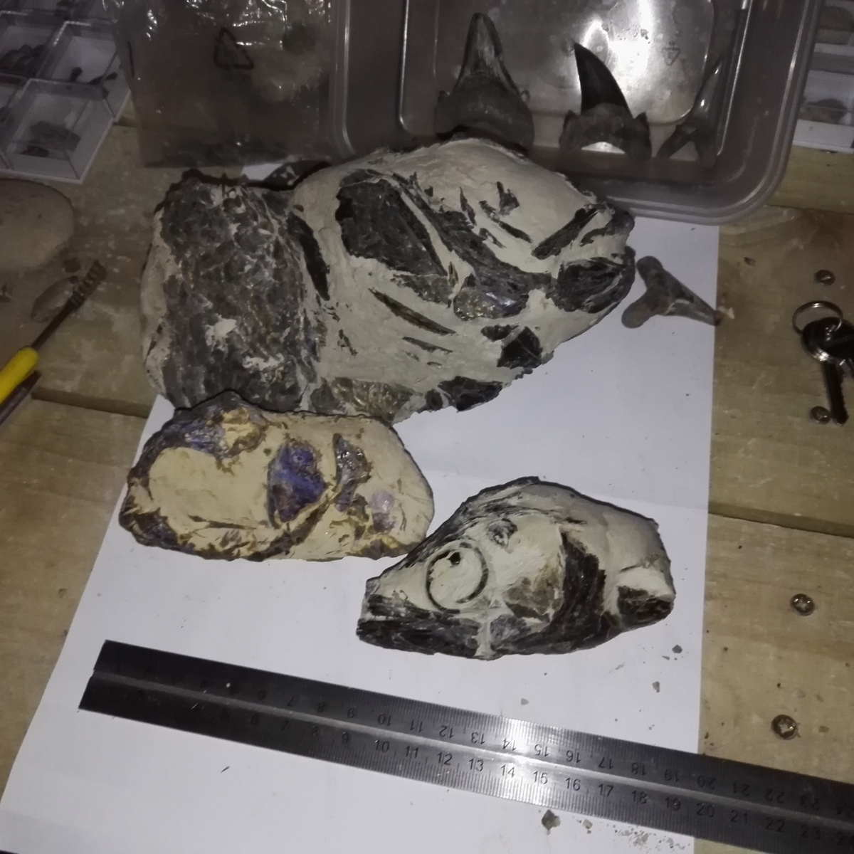 Sheppey fish skull collection