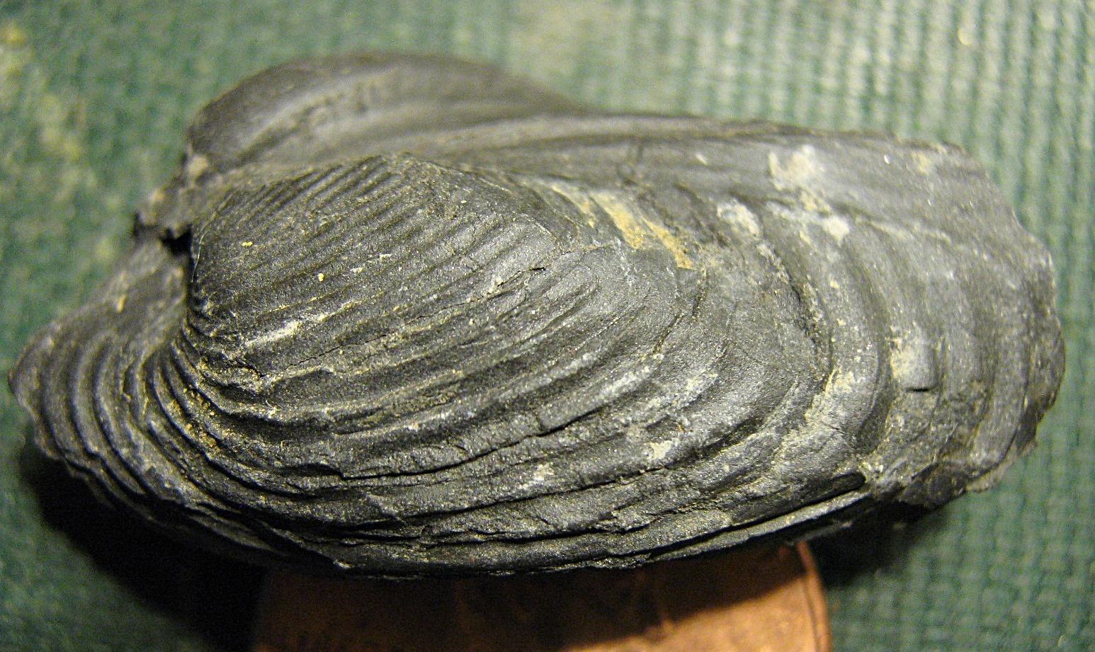 Grammysioidea arcuata  from Madison Co., NY.
