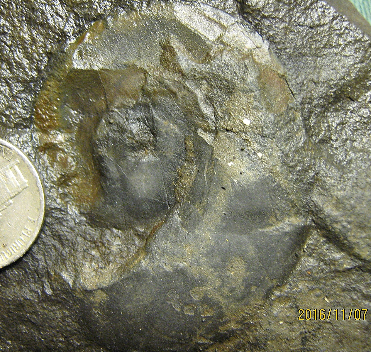 Devonian Goniatite from Albany Co., NY.