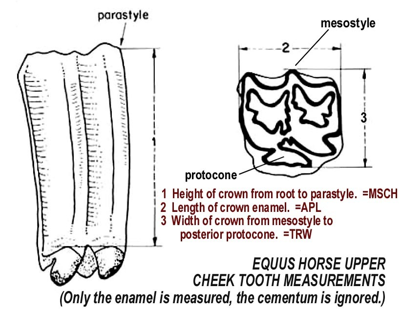horse teeth measurement upper