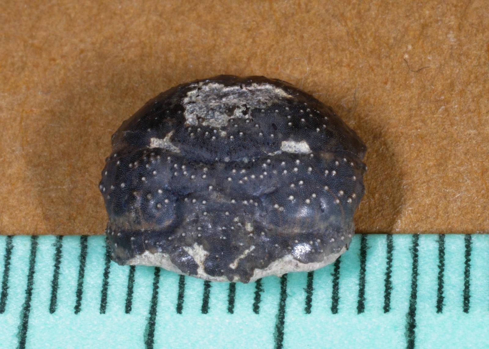 Sabellidromites scarabaea - 3.JPG