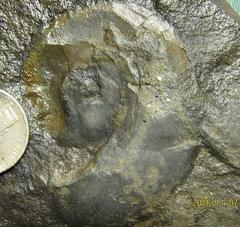 Devonian Goniatite from Albany Co., NY.