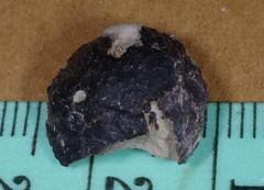 Sabellidromites scarabaea - 1.JPG
