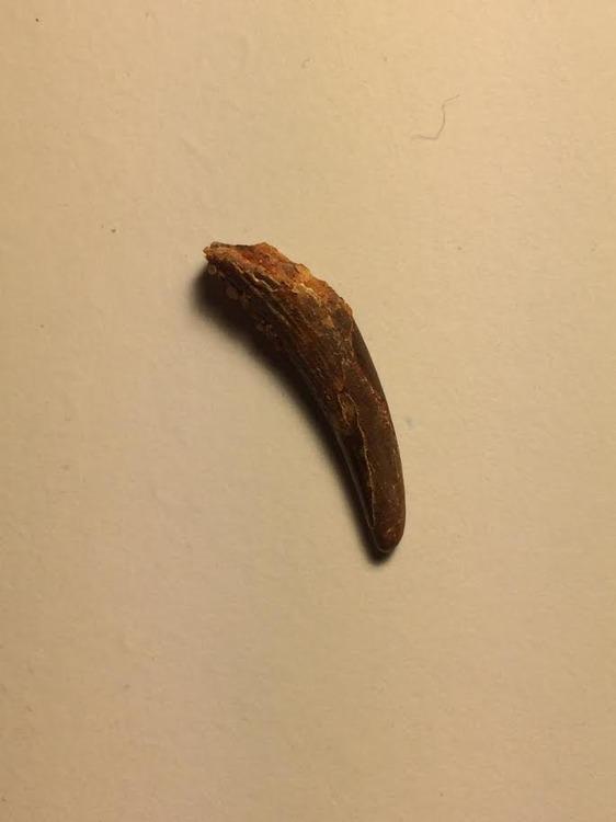 pterasaur tooth 2.jpg