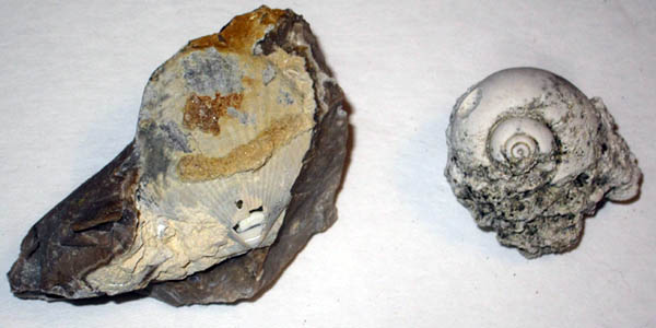 Agatized bivalve and gastropod.jpg