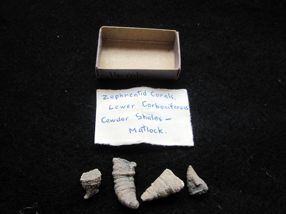 Zaphrentid corals wiith original matchbox and label.jpg