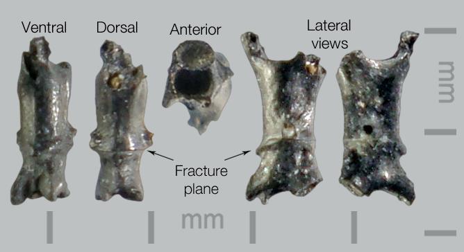 Lizard-Autotomous-caudal-vert-2.jpg