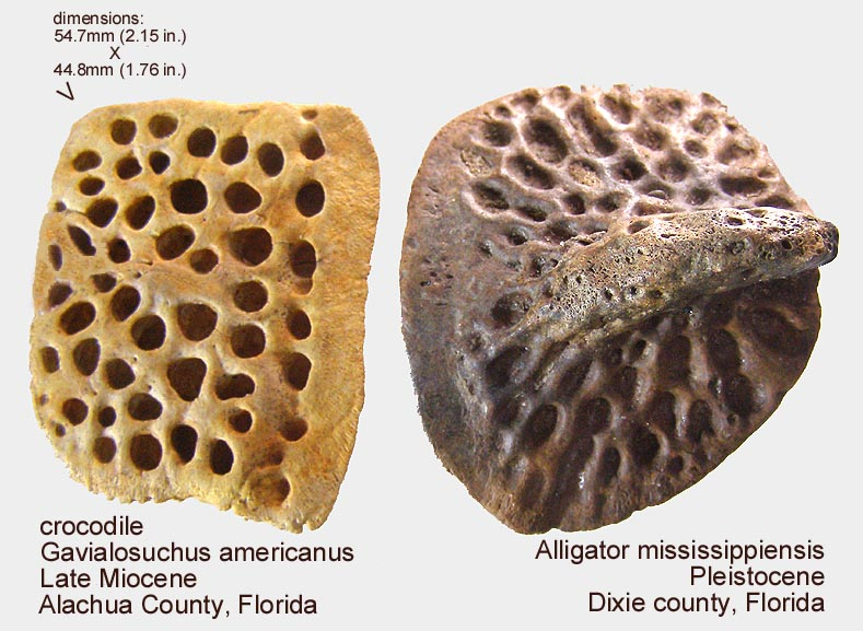 croc_osteoderms.JPG