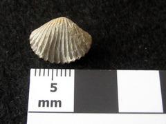 Anastrophiade flexia Syn Rhynchonella deflexa1b.jpg