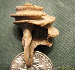 Ecophora Shell from Calvert Cliffs, MD.