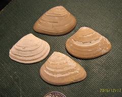 Astarte Clams from Calvert Cliffs, MD.