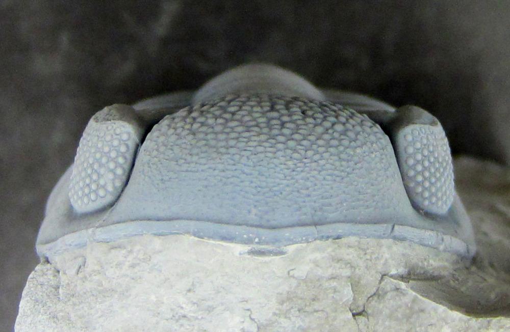 E. milleri -3.jpg