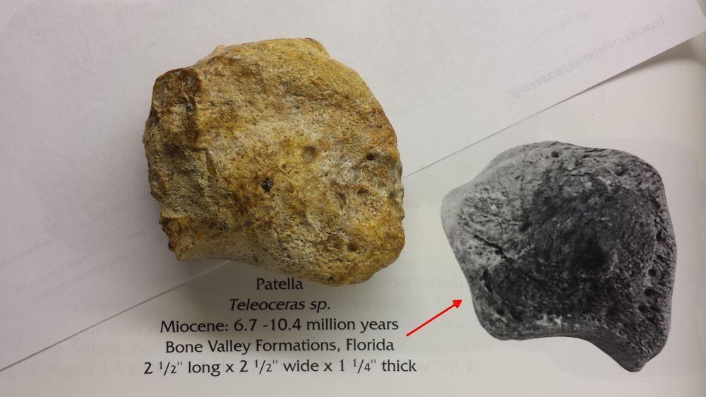 Unknown bone possible patella comparison to Teloceras.jpg