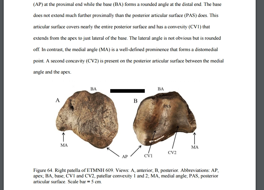 Patella from A New Species of Teleoceras from the Late Miocene Gray Fossil Site...Rachel A. Short thesis May 2013.jpg