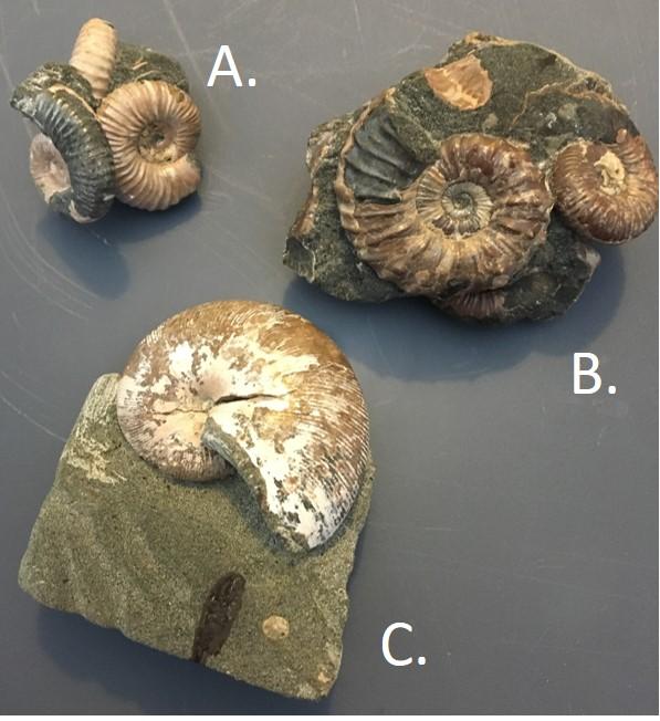Ammonite4.jpg