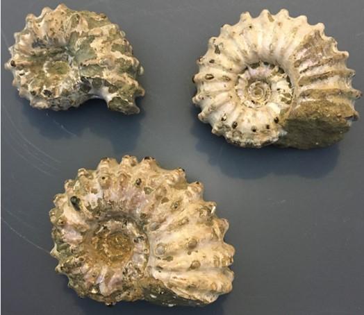 Ammonite6.jpg