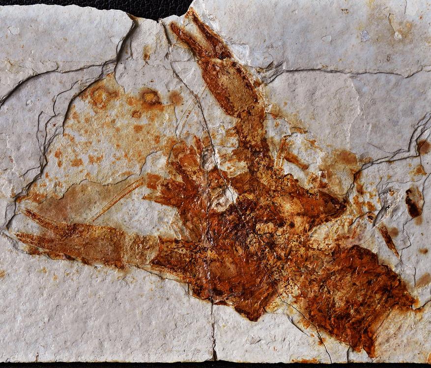 Crustacean_Palaeocambarus-licenti-3.jpg