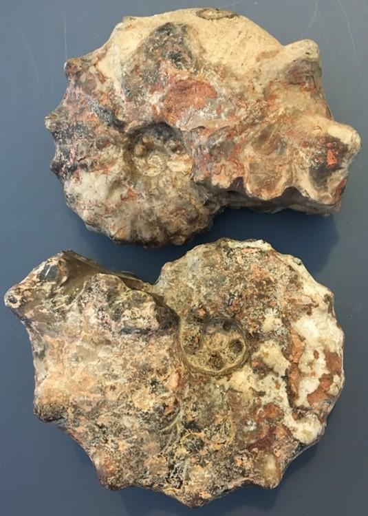 ammonite1.jpg