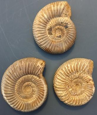 ammonite10.jpg