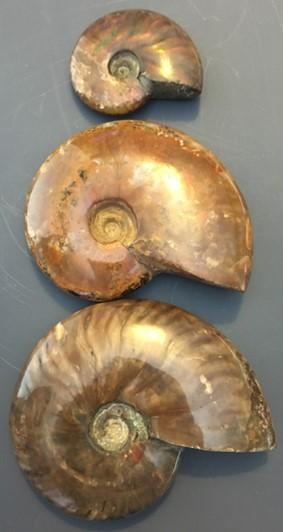 ammonite11.jpg