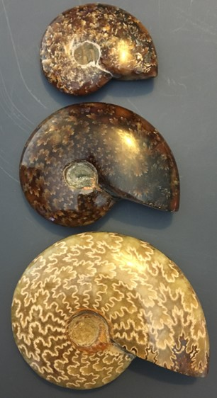 ammonite12.jpg