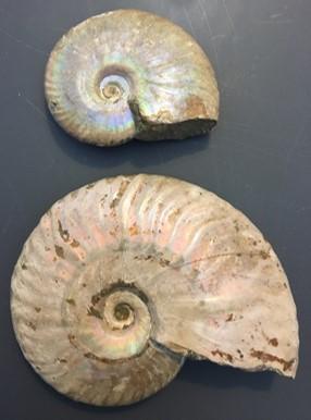 ammonite13.jpg