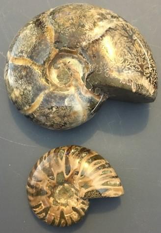 ammonite15.jpg