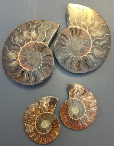 ammonite16.jpg