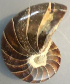 ammonite17.jpg