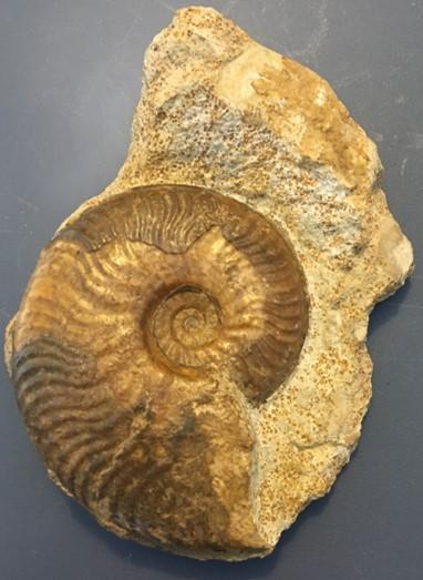ammonite5.jpg