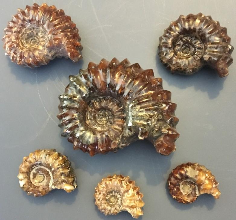 ammonite7.jpg
