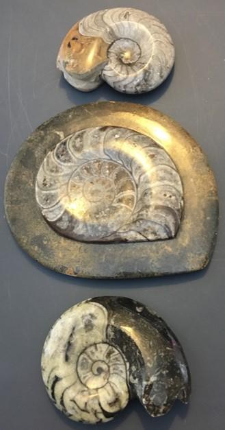 ammonite8.jpg