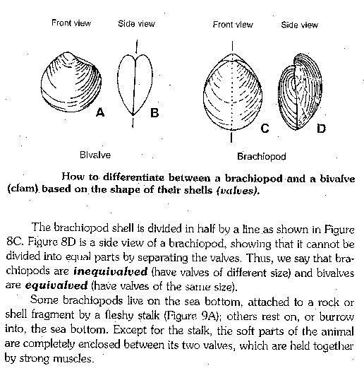 brachiopods_versus_bivalves_illustrated1_t.jpg