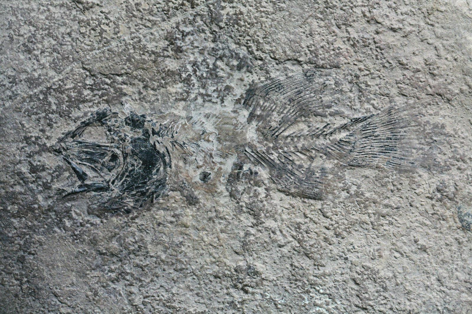 Gymnoichthys inopinatus Tintori et al., 2010