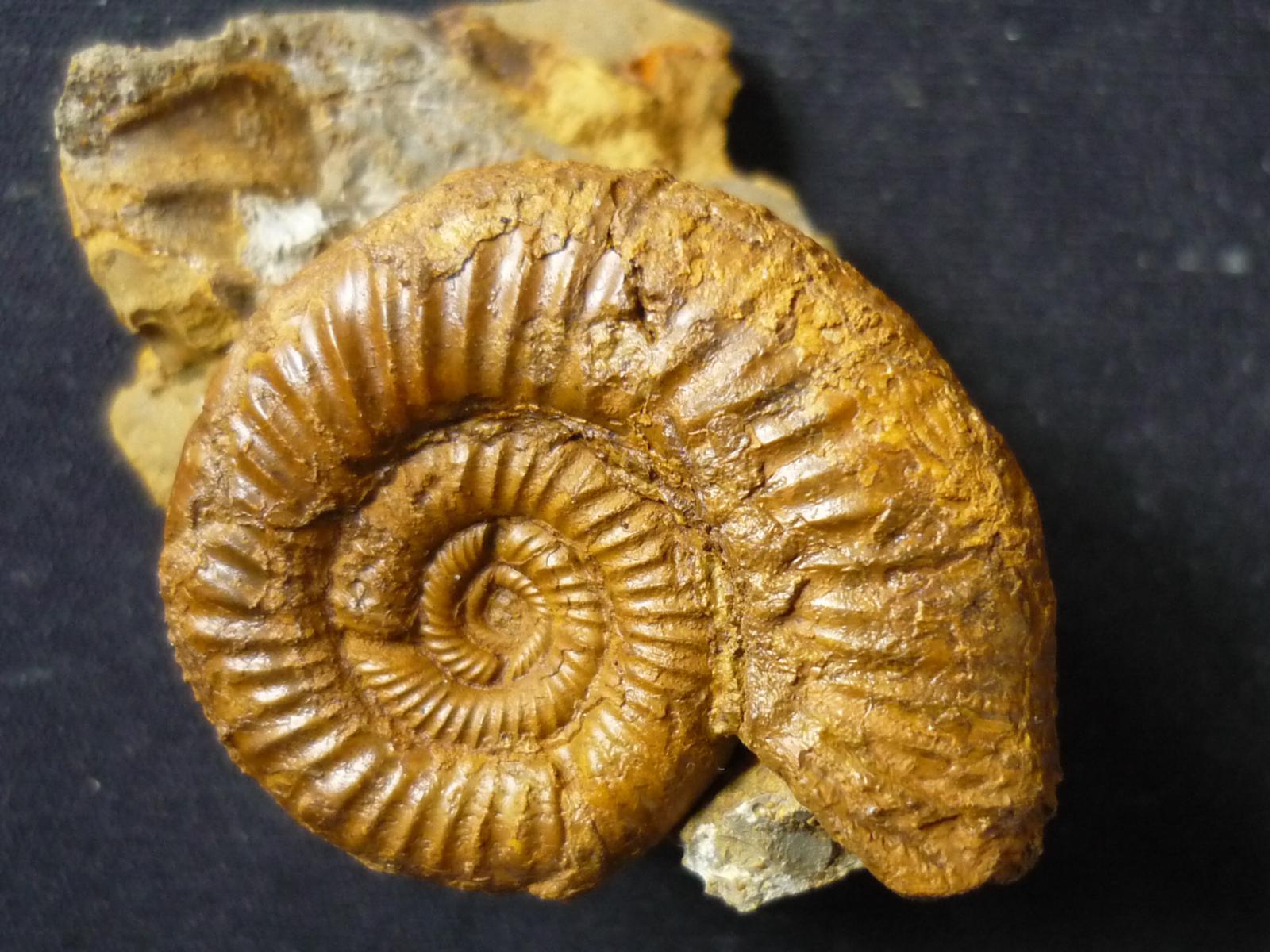 Properisphinctes bernensis (De Loriol 1898)