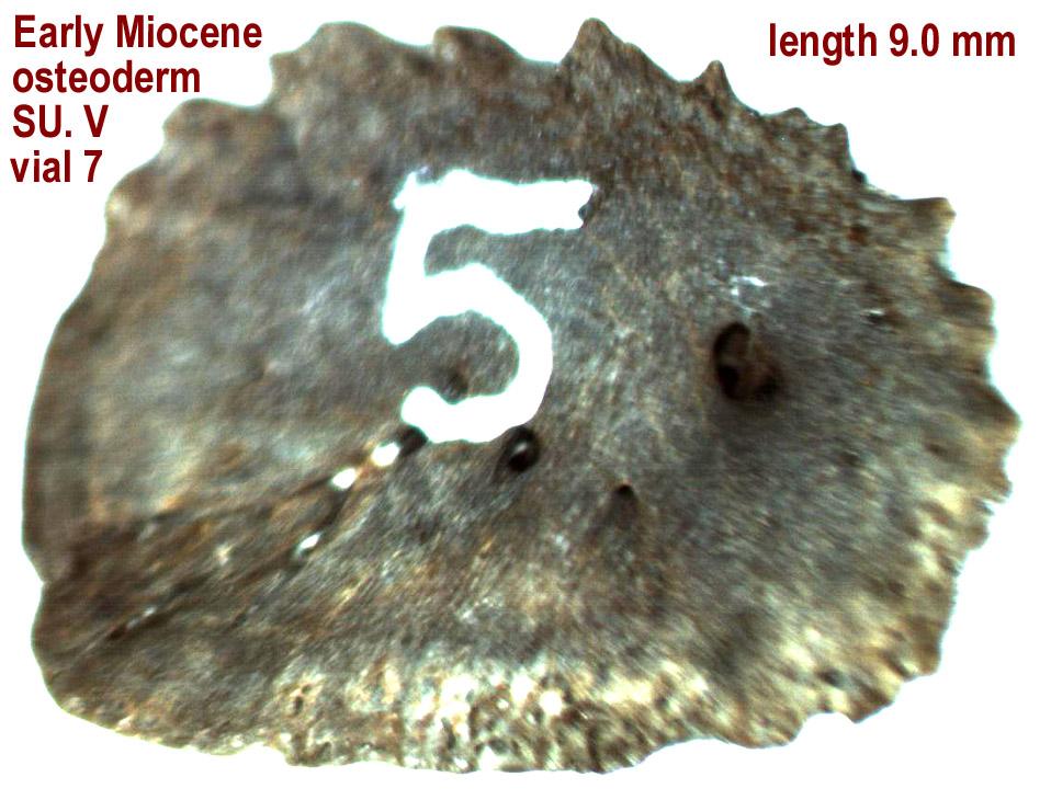 osteoderm_su5_vial7_ventral.JPG