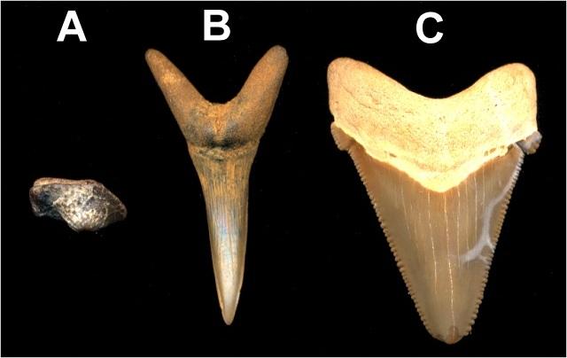 shark_tooth_shapes.jpg
