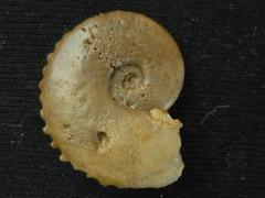 Glochiceras (Coryceras) crenatum (Brugiére 1789)