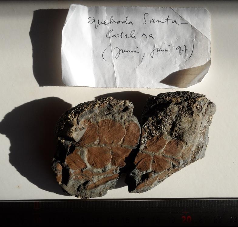 Fougère fossile Junin Pérou 4250 m  PH PO COMBELLES.JPG