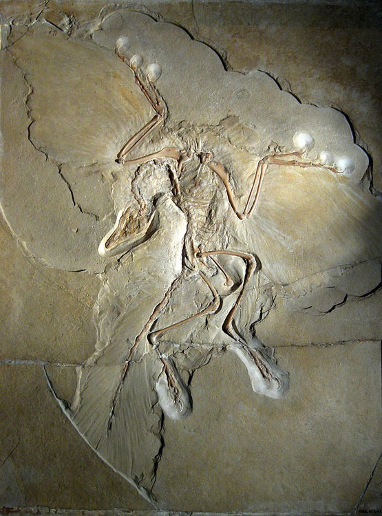 800px-Archaeopteryx_lithographica_(Berlin_specimen).thumb.jpg.1b076997056395dd3ee2c4dee0f33d17.jpg