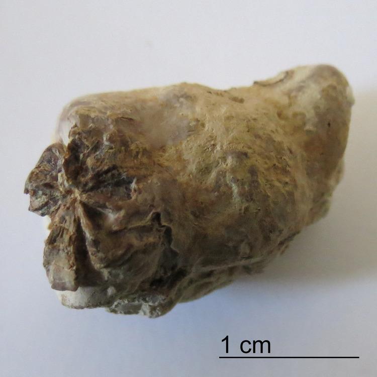 Marine-Coprolite-Fish-Vertebra-Inclusion-Niobrara-Formation-1.jpg
