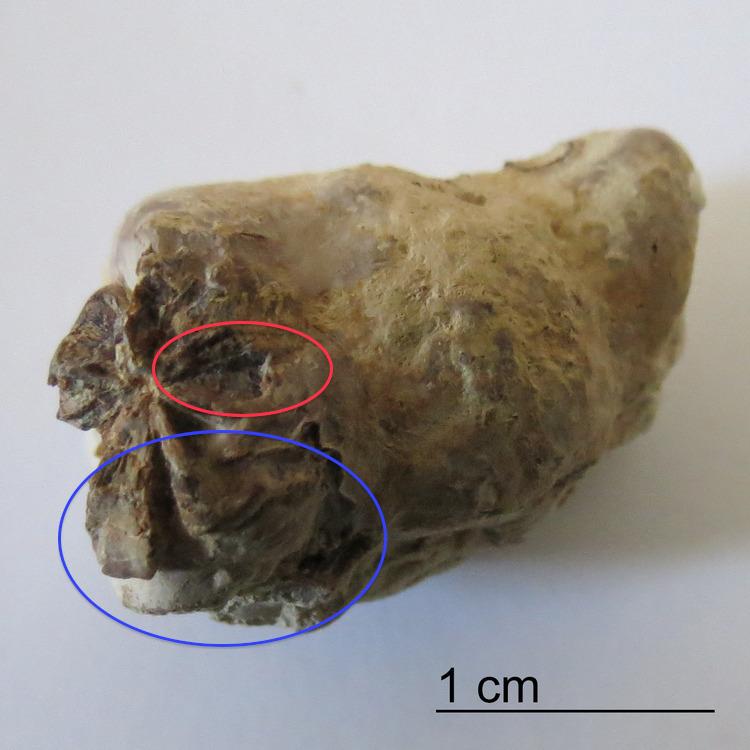 Marine-Coprolite-Fish-Vertebra-Inclusion-Niobrara-Formation-1.thumb.jpg.c8247d3216f001151255b2f4f1786921.png