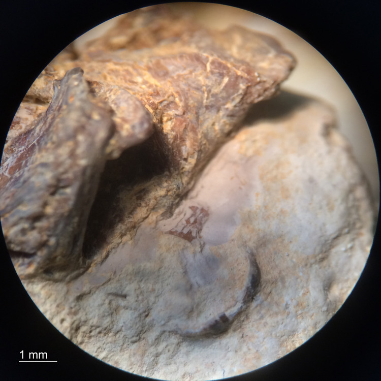 Marine-Coprolite-Fish-Vertebra-Inclusion-Niobrara-Formation-20X-1c.jpg